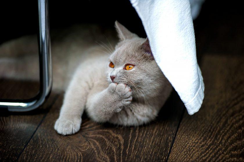 Quel régime pour votre chat après stérilisation ?